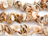 Voluta Trumpet Shell Beads (SH232)