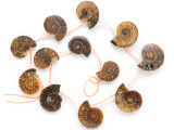 Ammonite Pendants 24-30mm - Set of 12 (AM608)