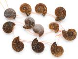 Ammonite Pendants 24-30mm - Set of 12 (AM609)