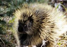 American Porcupine