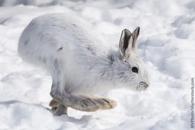 Nature's Spirit Snowshoe Rabbit Foot