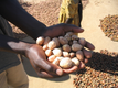 Shea nuts graded and sorted by hand in the field.
