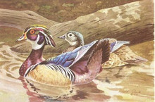 Missouri Duck Stamp Print 1980 Wood Ducks by David Plank