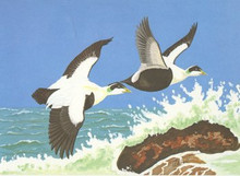 US Federal Duck Stamp Print RW24 (1957- 1958)