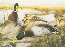 UK Duck Stamp Print 1994 Mallards by Terence Lambert