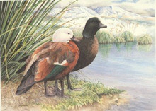 New Zealand Duck Stamp Print 1994 Paradise shelduck by Adele Earnshaw
