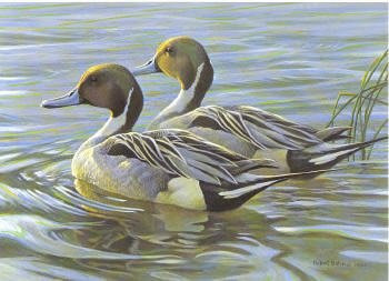 Canada Duck Stamp Print 1988 Pintails by Robert Bateman Executive Edition , Hand Colored Etching
