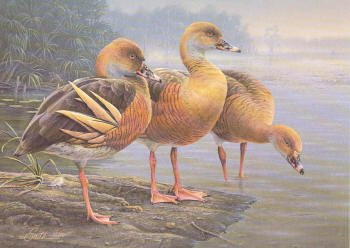 Australia Duck Stamp Print 1989 Plumed Whistling Duck by Daniel Smith Executive Edition, Hand Colored Etching