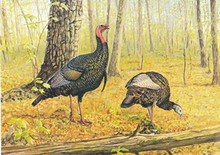 National Wild Turkey Foundation Stamp Print 1982 New York Chapter Wild Turkeys by Perter Corbin