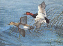 National Fish and Wildlife Stamp Print 1993 / 94 Canvasbacks by Richard Plasschaert