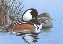 Wisconsin Duck Stamp Print 1984 Hooded Mergansers by Michael Riddet