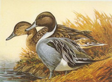 Wisconsin Duck Stamp Print 1982 Pintails by William J. Koelpin