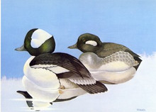 Wisconsin Duck Stamp Print 1979 Buffleheads by Rockner Knuth