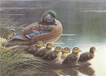 West Virginia Duck Stamp Print 1988 Wood Ducks by Steve Dillard