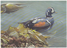 Washington Duck Stamp Print 1988 Harlequin Ducks by Robert Bateman