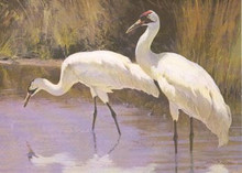 Texas Non Game Stamp Print 1985 Whooping Cranes by Ken Carlson Medallion Edition Non Game
