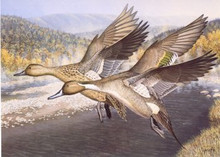 Pennsylvania Duck Stamp Print 1994 Pintils By Tom Hirata