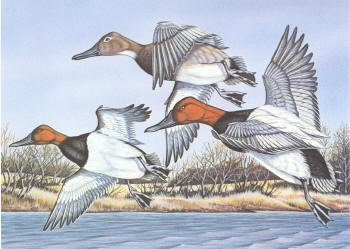 Oklahoma Duck Stamp Print 1987 Canvasbacks by Rayburn T. Foster