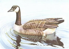Oklahoma Duck Stamp Print 1981 Canada Geese by Hoyt Smith