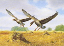 North Dakota Duck Stamp Print 1997 White-Fronted Geese by Richard W. Plasschaert