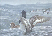 New York Duck Stamp Print 1989 Greater Scaup by Robert Bateman Medallion Edition
