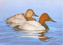 New Jersey Duck Stamp Print 1984 Canvasbacks by Tom Hirata Artist Proof Medallion Edition Resident and Non Resident Stamps