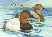 Michigan Duck Stamp Print 1977 Canvasbacks by Larry Hayden