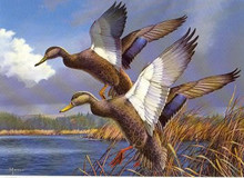 Maine Duck Stamp Print 1984 Black Ducks by David A. Maass