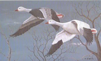 Iowa Duck Stamp Print 1982 Snow Geese by Tom Walker