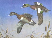 Illinois Duck Stamp Print 1981 Green-winged Teal (Error wrong Species)
