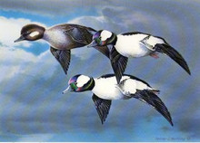 Florida Duck Stamp Print 1983 Buffleheads by Heiner Hertling