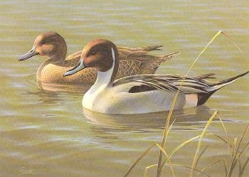 Arizona Duck Stamp Print 1987 Pintails by Daniel Smith