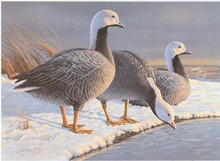 Alaska Duck Stamp Print 1985 Emperor geese by Daniel Smith