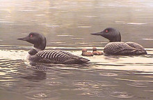 Summer Rain - Common Loons - Prestige edition by John Seerey-Lester