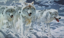 Night Run - Arctic Wolves by John Seerey-Lester
