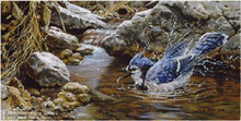 Bathing Blue jay by John Seerey-Lester