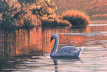 Morning on the Lagoon - Mute Swan by Ron Parker