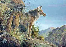 Evening Calm Coyote by Jorge Mayol