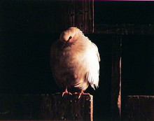 Resting Dove by C Jones
