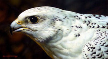 Gyrfalcon Portrait Artist Proof by Carl Brenders