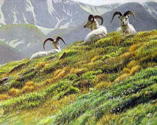 Mountain Meadow - Dall Sheep by Robert Bateman
