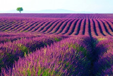 Lavender Fields Fragrance