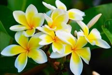 Plumeria Fragrance