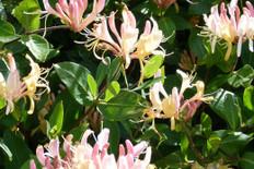 Tropical Honeysuckle Fragrance
