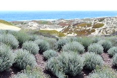 Beach Sage Fragrance