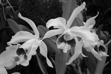 dIANKA Orchid (photography)