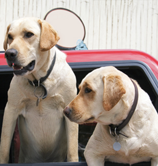 dogs-car