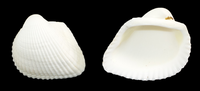 White Ark Seashell