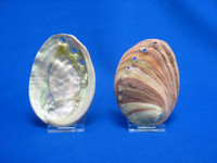 Small Red Abalone