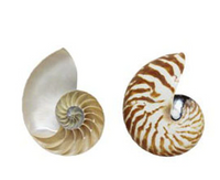 Chambered Nautilus Cut Set